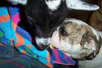 Close Up - Spike the Bulldog with his face next to Mary-Sue the Baby Goat who is wrapped in a towel and being held on a person's lap in a living room