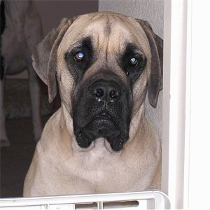 Close up upper body shot - A huge, tan with black English Mastiff is sitting in a doorway blocked by a gate.