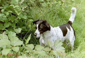 A white and black Spanador dog is standing in medium sized grass. It is looking down and to the left at an item in the leaves. Its tail is up and it has black ticking on the white areas of its body.