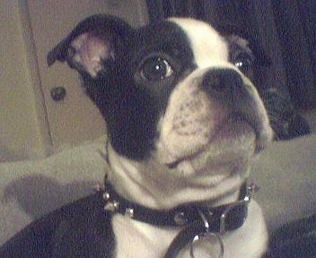 Close up head and shoulder shot - A black with white Olde Boston Bulldogge puppy is wearing a black leather spiked collar looking wide-eyed up and to the right.