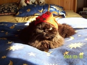 Hershey the solid chocolate Persian wearing an orange wizard hat and laying on a blanket that has stars and moons all over it and looking directly at the camera holder with a face that appears to be very serious