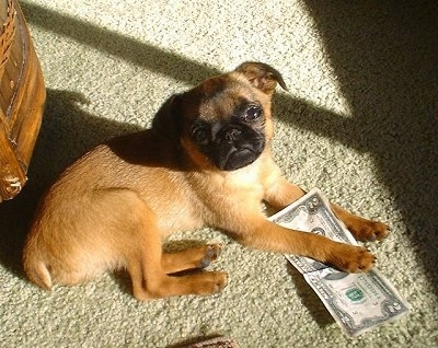 A small tan with black short haired dog is laying on a tan carpet and its front paw is overtop of a $2 bill