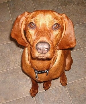 Top down view of a Redbone Coonhound sitting on a tan tiled floor looking up.