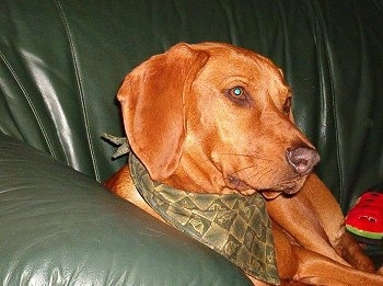 A Redbone Coonhound is wearing a green bandana, laying on a green leather couch and it is looking to the right. Its long ears look soft and its coat looks shiny.