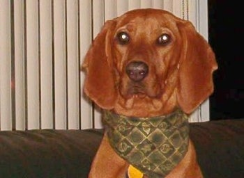Close up head shot - A Redbone Coonhound is wearing a green bandana and it is sitting on top of a couch. It has long wide ears.