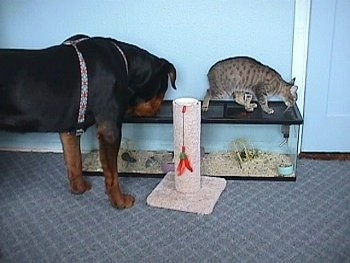 The back right side of a black with brown Rottweiler dog that is sniffing the top of a aquarium in front of a blue wall inside of a house. There is a cat standing on top of the aquarium and a cat scratching post in front of the aquarium