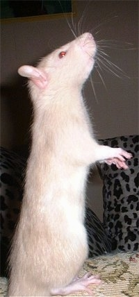 Side view - A white with tan rat is standing on its hind legs. It is lifting itself up and it is looking up and to the right.