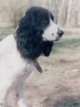 Side view - The upper half of a white with black Russian Spaniel dog with long drop furry ears  sitting in grass looking to the right.