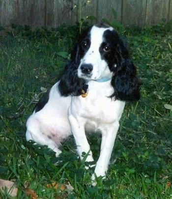 Front view - A white with black Russian Spaniel is sitting in grass looking forward and there is a wooden privacy fence behind it. The dog has short hair with longer fur on its long drop ears.