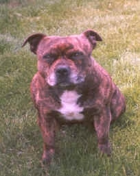 A wide brindle with white Staffordshire Bull Terrier is sitting in grass, it is looking up and forward.