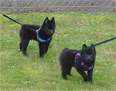 Two small black Schipperke puppies are standing in grass looking forward. There is a chain link fence behind them. One puppy has a blue harness and the other puppy has a purple harness.
