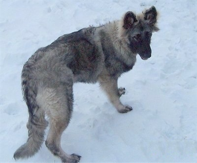 The back right of a black with tan and grey Shiloh Shepherd puppy that is standing across a snowy surface and it is looking back.