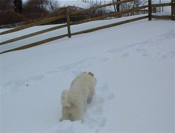 A Great Pyrenees puppy is jumping through deep snow towards a wooden split rail fence.