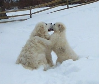 A Great Pyrenees and a Great Pyrenees puppy are playing with each other in snow. The Puppies paw is on the shoulder of the Great Pyrenees and they are biting at one another's faces.