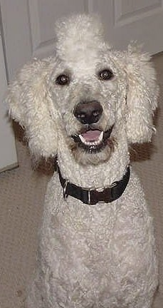 Close up front view head and upper body shot - A white Standard Poodle dog sitting on a tan carpet looking up with its mouth open and it looks like it is smiling. The hair of top of the Poodles head is shaped to look like a Mohawk.