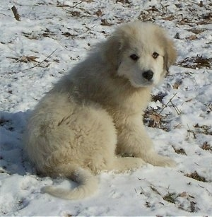 A Great Pyrenees puppy is sitting in snow and looking to the left