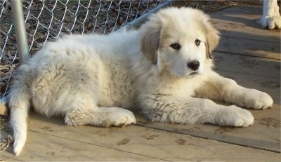 A Great Pyrenees puppy is laying in front of a chain link fence inside of an outdoor dog kennel.