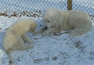 Great Pyrenees Dog Breed Pictures, 7