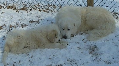 A Great Pyrenees and a Great Pyrenees puppy are laying in snow face to face in front of a chain link fence.