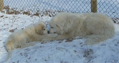 The left side of a Great Pyrenees that is laying across a snow covered surface. In front of it is the right side of a Great Pyrenees puppy. The dogs are laying face to face.