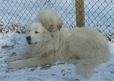 A Great Pyrenees is laying in snow  with a Great Py puppy laying on its back