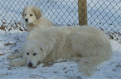 A Great Pyrenees is laying down in snow and there is a Great Pyrenees puppy behind it next to a chain link fence.