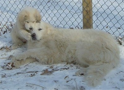 The left side of a Great Pyrenees that has its back against a chainlink fence and there is a Great Pyrenees puppy standing up against its face.