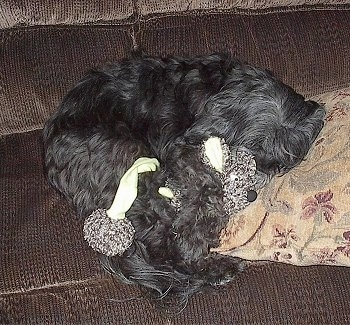Top down view of a black Tibetan Terrier dog laying down on a couch and there is a plush doll to the right of it.