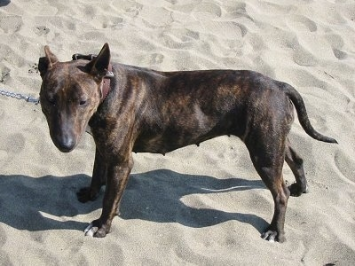 Top down view of the left side of a brown brindle Titan Terrier that is standing across sand and it is looking forward. The dog has perk ears, along muzzle with a shallow stop and a long tail that it is holding low. The dog has slanty eyes.