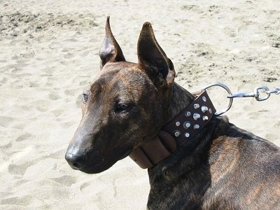 Close up - The front left side of a brown brindle Titan Terrier dog standing on a beach and it is looking to the left. The dog has large pointy perk ears, a large forehead, slanty brown eyes, a black nose and a long muzzle. It is wearing a thick brown leather collar with silver decorations on it.