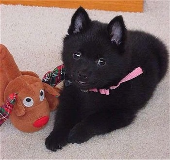 Close up - A small, fluffy black Schipperke puppy is laying on a carpet and to the left of it is a Rudolph the Red Nose Reindeer toy. It is looking forward, its mouth is slightly open and it is smiling.