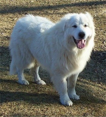 A Great Pyrenees is standing in grass looking happy with its tongue out.