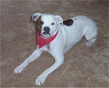 The front left side of a wide white with red Valley Bulldog that is wearing a red bandana, it is laying across a carpeted surface and it is looking forward.
