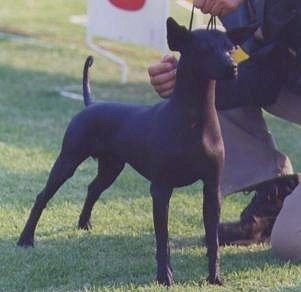 The front right side of a black hairless Xoloitzcuintli dog standing in grass at a dog show looking to the right and there is a person to the right of it posing the dog.