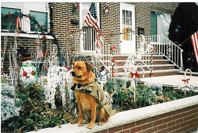 A reddish brown dog is wearing a jacket is sitting on a small brick wall in front of a brick house. Behind it is a yard that is filled with Christmas decorations and an American Flag