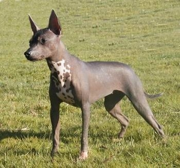 The front left side of a dark gray with white hairless Xoloitzcuintli That is standing across a grass field and looking to the left. It has large perk ears and a pointy muzzle with a black nose and a long tail.