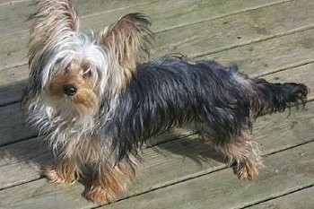 The left side of a long-bodied, short-legged, low to the ground wet black with brown Yorkshire Terrier dog standing across a wooden deck looking forward and its head is tilted to the right. It has very large perk ears with long fringe hair coming from them, a thin pointy snout with a black nose. It has a long tail.