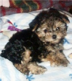 The right side of a thick wavy coated, black with tan Yorkiepoo puppy that is laying on a blanket and it is looking forward. It has wide round eyes that are partly covered in hair and a small black nose.