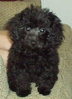 A thick curly coated, black Yorkipoo puppy is sitting on the lap of a person sitting on a green couch. It has a small black nose and wide round dark eyes.
