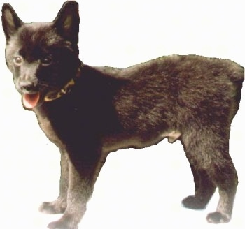 The left side of a black Schipperke puppy that is looking forward, its mouth is open and its tongue is sticking out. It was cutout onto a white layer.