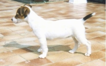 Left Profile - A white with brown and black Parson Russell Terrier dog is standing on a shiny tan tiled floor looking to the left. Its ears are flopped over to the front.