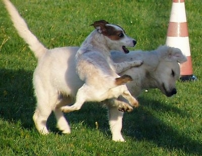 pics of dogs playing