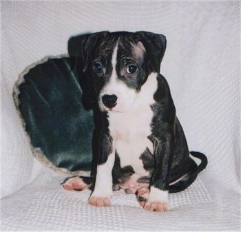 Front view - A black and white Staffordshire Bull Terrier puppy is sitting on a white blanket on top of a couch and it is looking forward.