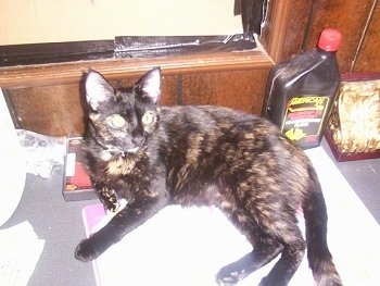 Ezmarelda the Tortoiseshell Cat is laying on a folder on a table in front of a boarded window and a quart of motor oil