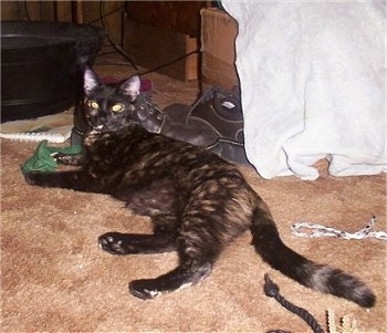 Ezmarelda the Tortoiseshell Cat is laying on a carpet with a pair of work shoes behind it
