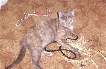 Vina the Tortoiseshell cat is laying on a lot of rope and looking up to the camera holder