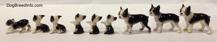 The left side of a line-up of different miniature Boston Terrier figurines.