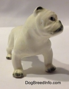 The front right side of a miniature white English Bulldog figurine with a brown spot over the eye. The figurine has black on its paws.