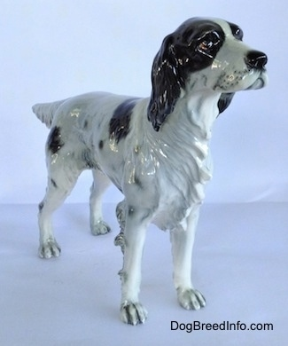 The front right side of a black and white English Setter in a standing pose figurine. The figurine has great hair details on its chest and a detailed face. Its nose is black.