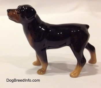 The left side of a black with brown miniature Rottweiler figurine. The figurine is glossy.